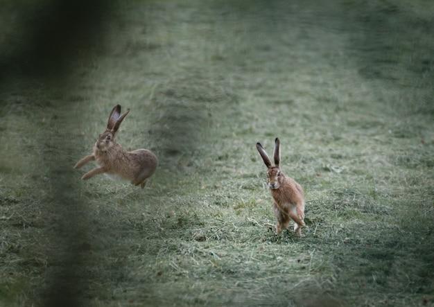 芝生のフィールドで遊ぶ2匹のウサギのセレクティブフォーカスショット 無料写真