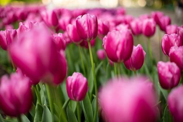 Messa a fuoco selettiva colpo di tulipani rosa in fiore in un campo Foto Gratuite