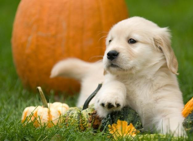 Colpo di messa a fuoco selettiva di zucche a terra con un simpatico cucciolo di golden retriever Foto Gratuite