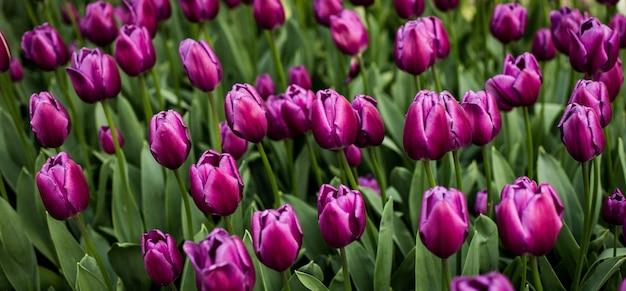 Messa a fuoco selettiva colpo di tulipani viola in fiore in un campo Foto Gratuite