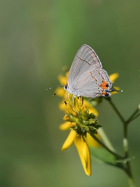 Colpo di messa a fuoco selettiva di un blu a coda corta su un fiore Foto Gratuite