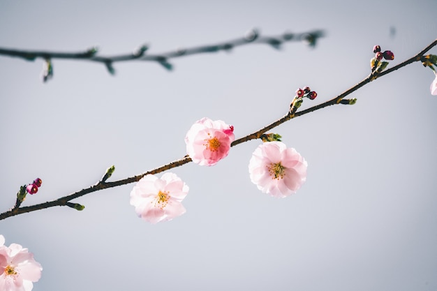 Vista di messa a fuoco selettiva di un bellissimo ramo con fiori di ciliegio con uno sfondo grigio Foto Gratuite
