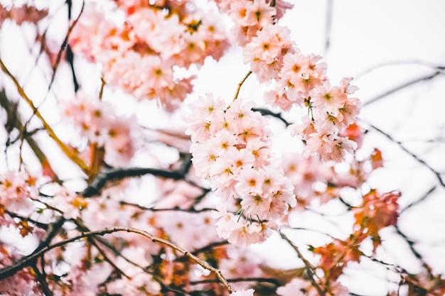 Vista di messa a fuoco selettiva di bellissimi rami con fiori di ciliegio Foto Gratuite