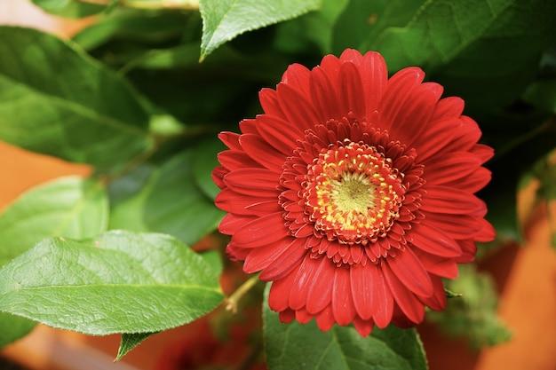 Vista di messa a fuoco selettiva di un bel fiore rosso gerbera con uno sfondo sfocato Foto Gratuite