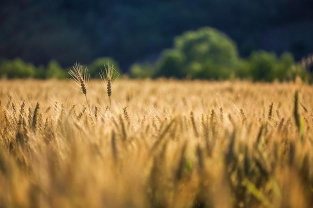 Colpo selettivo di grano dorato in un campo di grano Foto Gratuite