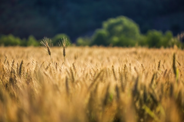 Селективный снимок золотой пшеницы в пшеничном поле Бесплатные Фотографии