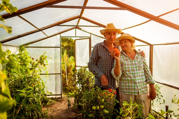 Senior couple woman and man gathering crop of tomatoes at greenhouse on farm. Premium Photo