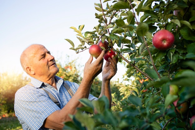 Senior man worker picking up apples in fruit orchard Free Photo