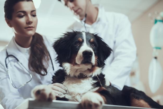 美しい純血種sennenhund獣医クリニック健康診断。 Premium写真