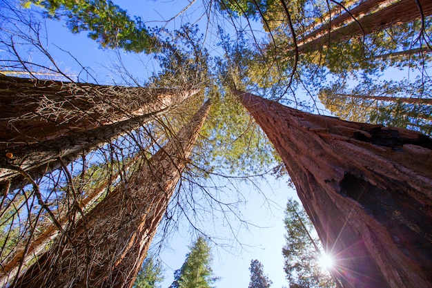 Sequoias in california view from below Premium Photo
