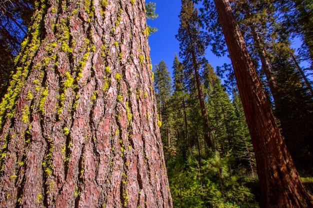 Sequoias in mariposa grove at yosemite california Premium Photo