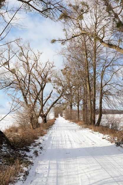Серия голых деревьев, на которых зимой выращивают омелу. Premium Фотографии