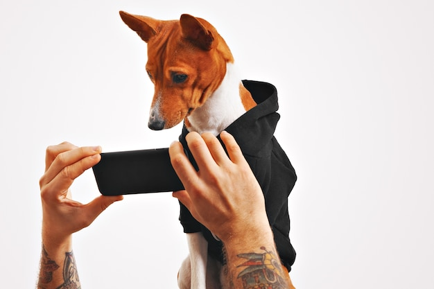 Serious brown and white basenji dog in black sweatshirt watches a movie on a smartphone held by man's hands Free Photo