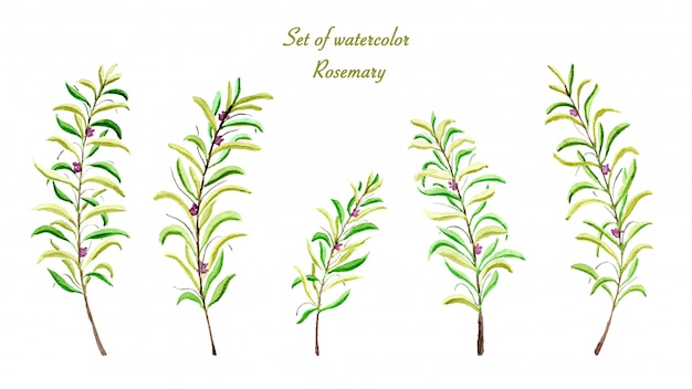 Set of collection rosemary watercolor Premium Photo