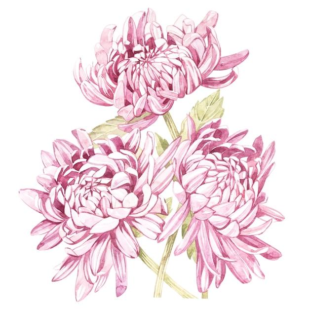 Set of hand drawn watercolor botanical illustration of flowers chrysanthemums. Premium Photo