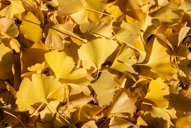 柔らかな秋の光に照らされた地面に並ぶイチョウの美しい黄色の葉。 Premium写真