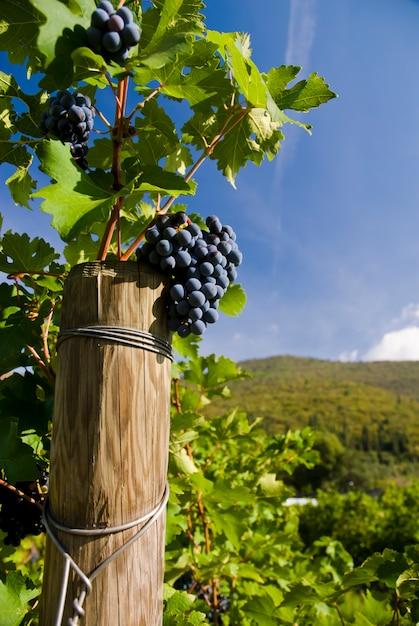 Несколько гроздей спелого винограда на лозе Premium Фотографии