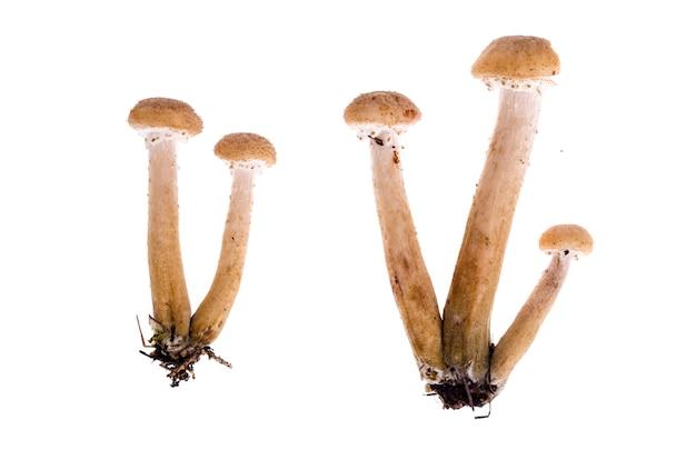 Several edible armillaria mushrooms background Premium Photo