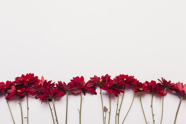 Several red flowers of chrysanthemums on a white background Premium Photo