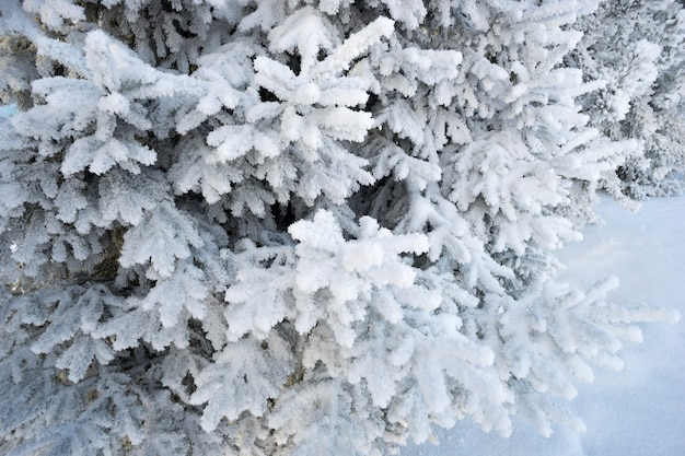 Shaggy spruce branches with snow decoration. Premium Photo