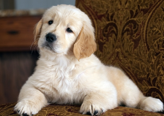 Shallow focus shot of a cute golden retriever puppy resting on the couch Free Photo