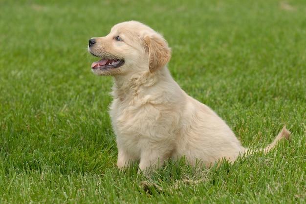 Shallow focus shot di un simpatico cucciolo di golden retriever seduto su un terreno erboso Foto Gratuite