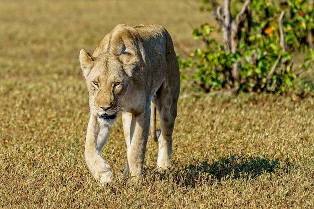Colpo poco profondo del fuoco di un leone femminile che cammina su un campo di erba durante il giorno Foto Gratuite