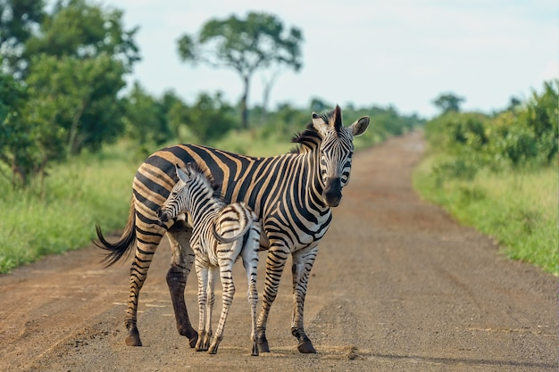 Неглубокий снимок матери-зебры с ребенком, стоящим на дороге Бесплатные Фотографии