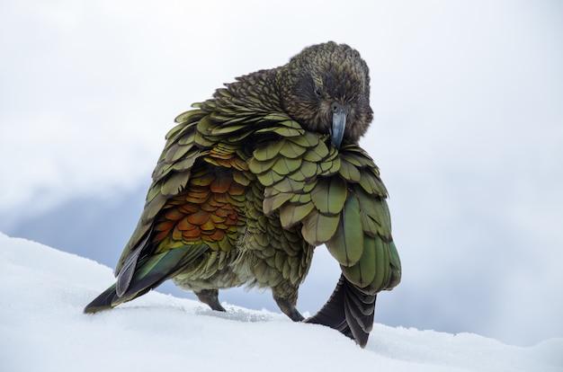뉴질랜드의 Nestor Kea의 얕은 초점 샷 무료 사진