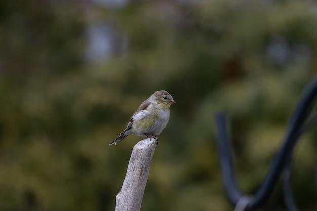 小枝で休んでいるオウゴンヒワの浅いフォーカスショット 無料写真