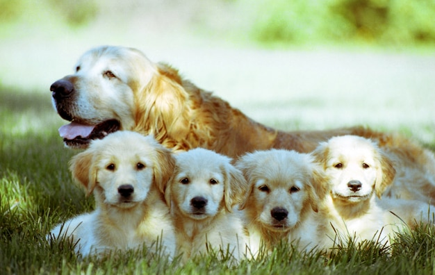 Shallow focus shot of an old golden retriever with four puppies resting on a grass ground Free Photo