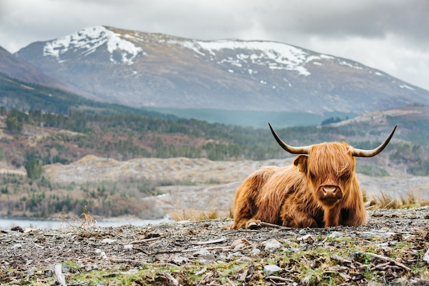 Shallow focused shot of a fluffy highland cow with long horns, blurred mountain in the background Free Photo