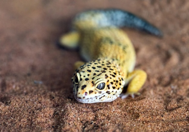 The shape and face of a leopard gecko in a natural atmosphere. Premium Photo