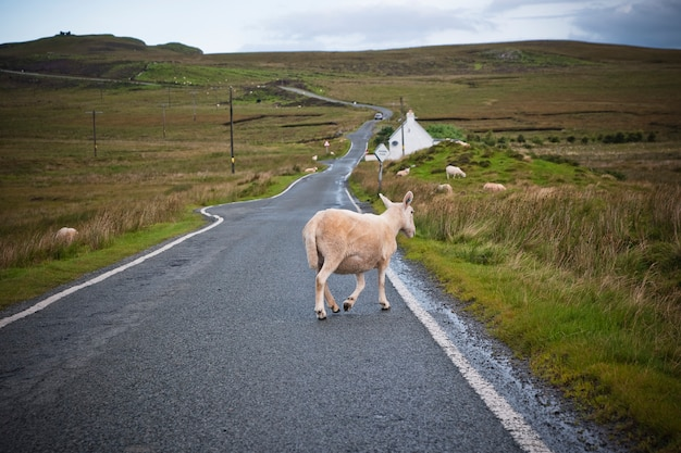 Sheep and cows walking on a road in the north of scotland. Premium Photo