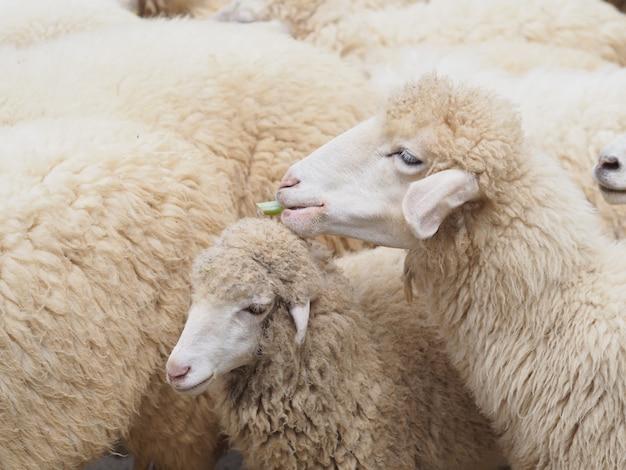 Sheep face eating green grass Premium Photo