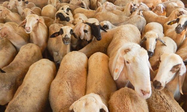 Sheep farm for the production of milk Premium Photo