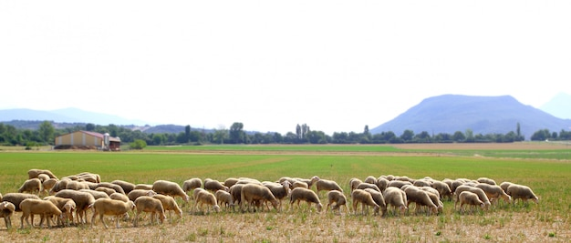 Sheep flock grazing meadow in grass field Premium Photo