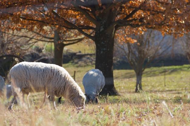Sheep grazing in the cordoba mountains in argentina Premium Photo