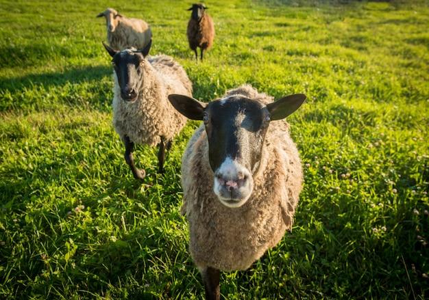 Sheep on a green grass Free Photo