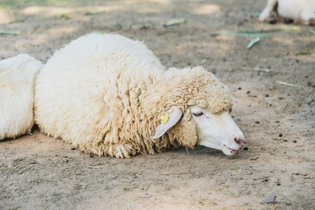 Sheep on green grass Free Photo