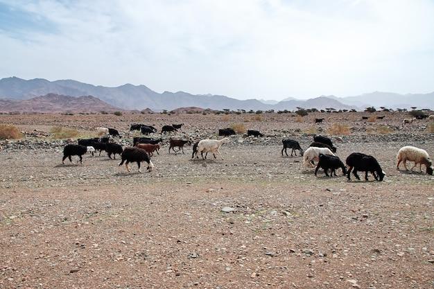 サウジアラビアの山の羊 Premium写真
