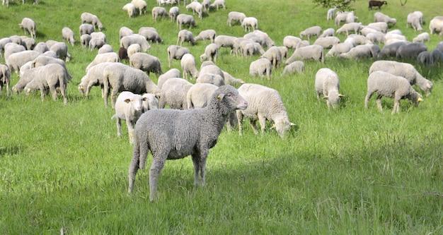 Sheep in livestock grazing in spring Premium Photo