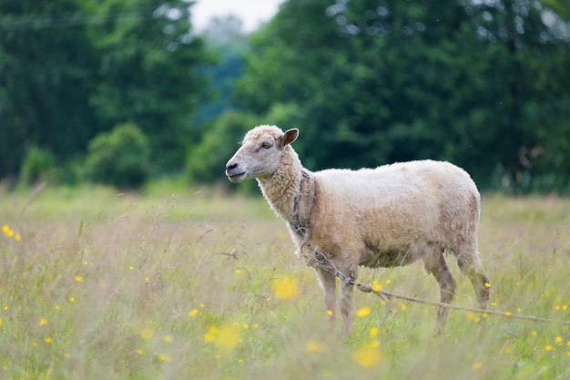 Sheep on the meadow Premium Photo
