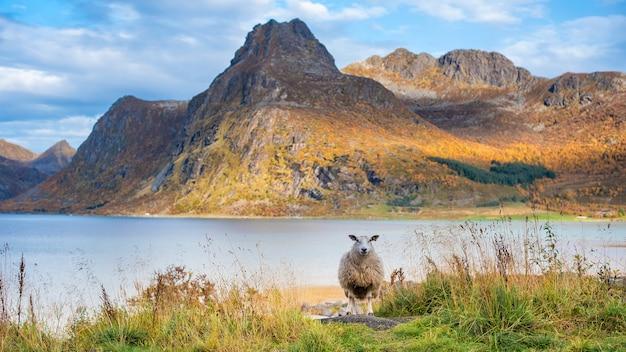 A sheep in mountain in lofoten islands Premium Photo