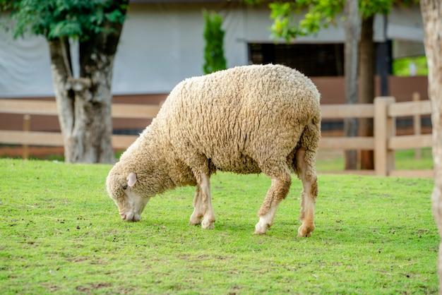 Овцы на поле зеленой травы в доме фермы. Premium Фотографии