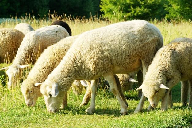 Овцы на зеленой траве Premium Фотографии