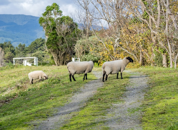Sheep pasturing in a beautiful rural area with mountains Free Photo
