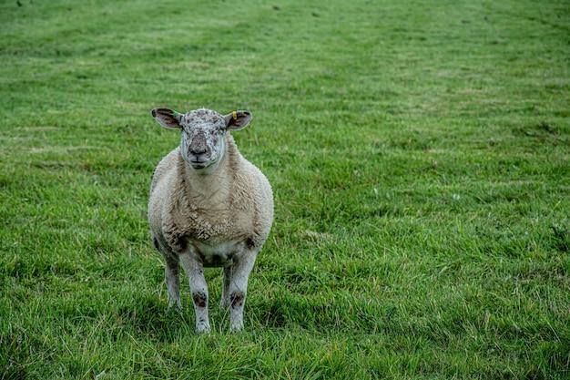 緑の牧草地でカメラを見つめて羊 Premium写真