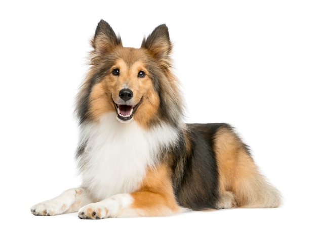 Shetland sheepdog lying in front of a white wall Premium Photo