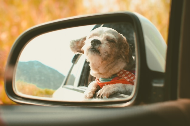 Shih tzu dog in car mirror looking out of window during travel travel Premium Photo